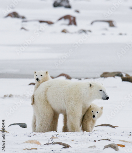 Tuinposter Ijsbeer Polar bear with a cubs in the tundra. Canada. An excellent illustration.