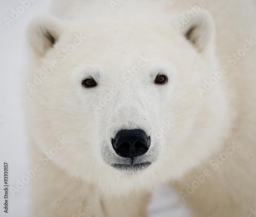 Staande foto Ijsbeer Portrait of a polar bear. Close-up. Canada. An excellent illustration.