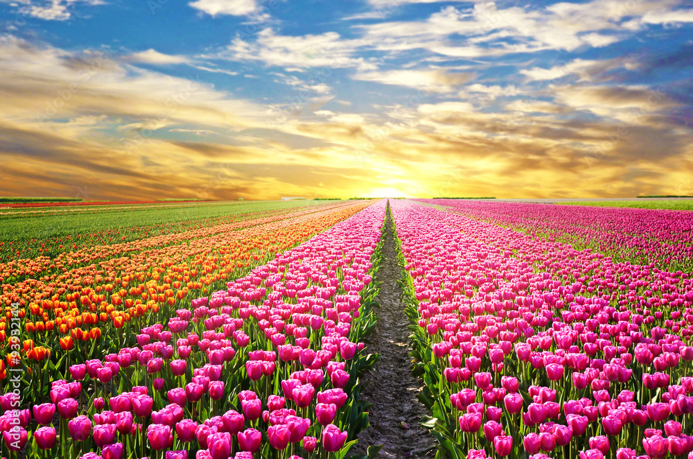 Fototapety, obrazy: A magical landscape with sunrise over tulip field in the Netherl
