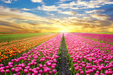 Fototapeta Tulipany - A magical landscape with sunrise over tulip field in the Netherl