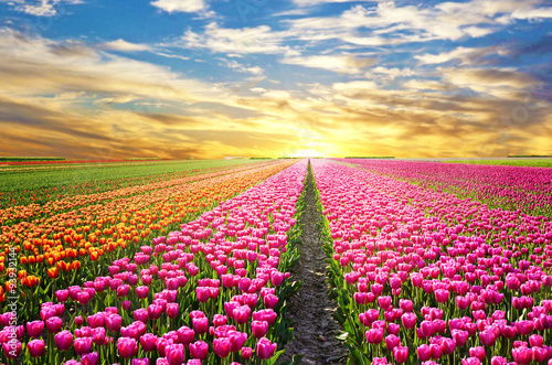 A magical landscape with sunrise over tulip field in the Netherl