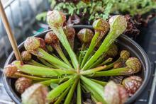 Sarracenia Psittacina
