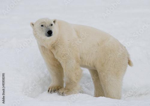 Poster Polar bear A polar bear on the tundra. Snow. Canada. An excellent illustration