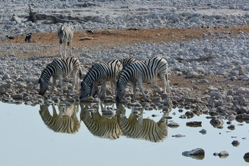 Fototapeta na wymiar Steppenzebras (Equus Quagga) am Wasserloch von Okaukuejo im Etosha Nationalpark.