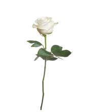 Single White Rose  Isolated  B...