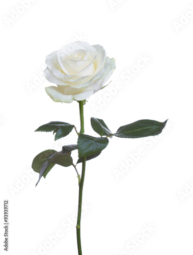 Staande foto Roses single white rose isolated background
