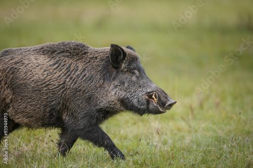 Canvas-taulu Wild boar running