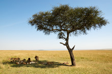 Pride Of Lions Under An Acacia Tree