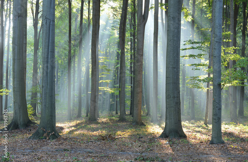 Cadres-photo bureau Foret brouillard Morning in the forest