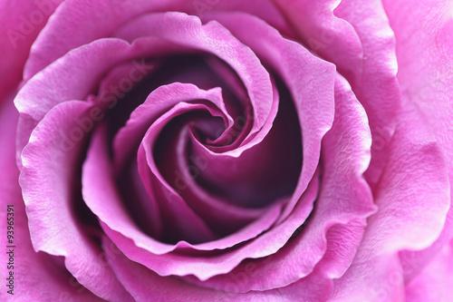 zamyka-up-purpury-roza