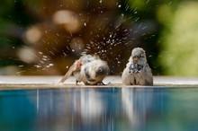 Sparrows Bathing