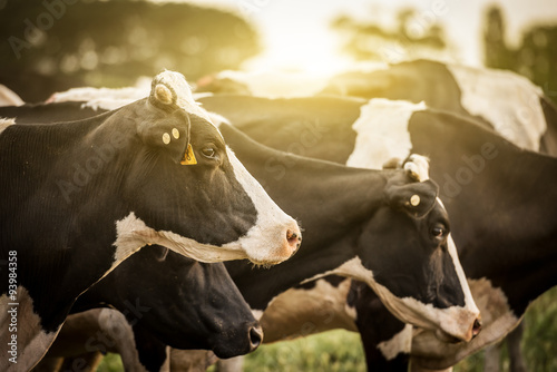 Photo Stands Cow Cattle Grazing in a Feild