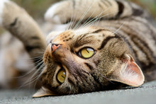 Tabby Cat Upside Down On Shed Roof