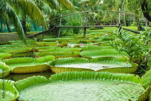 Poster de jardin Nénuphars Water Lily in Mekong Delta