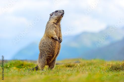 Fotografie, Obraz  Murmeltier in den Alpen
