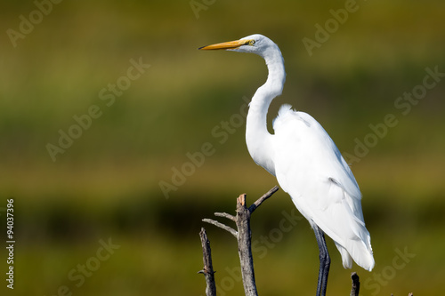 Αφίσα  Great Egret