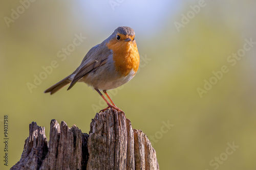 Robin on a wooden pole in a forest Canvas Print