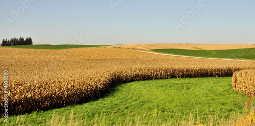 Wall Murals Village Midwestern Corn / Cornfield in Minnesota