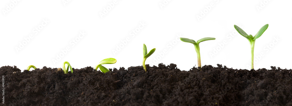 Fototapety, obrazy: Growth Sequence - A sequence of seedlings growing progressively taller, isolated against a white background.