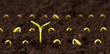Growing Tall - One plant growing taller than all the other seedlings in the dirt.  Concept for success or achievement.