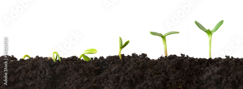 Fotografia  Growth Sequence - A sequence of seedlings growing progressively taller, isolated against a white background