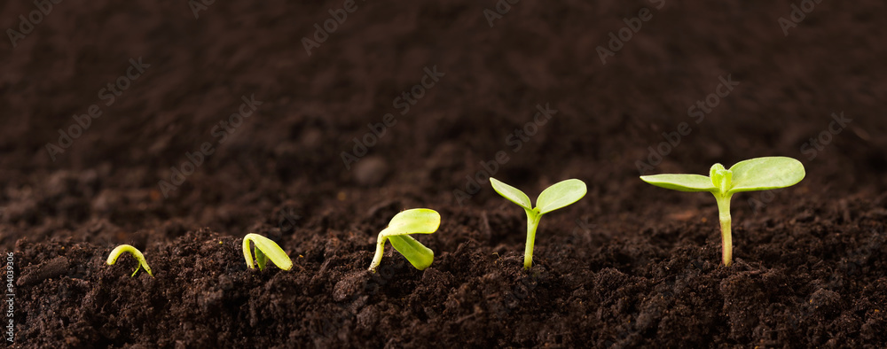 Fototapety, obrazy: Growing Plant Sequence in Dirt - a seedling grows progressively taller in dirt - metaphor for success or growth