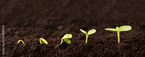 Foto op Canvas Planten Growing Plant Sequence in Dirt - a seedling grows progressively taller in dirt - metaphor for success or growth