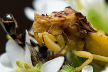 Yellow Ambush Bug Eats Small B...