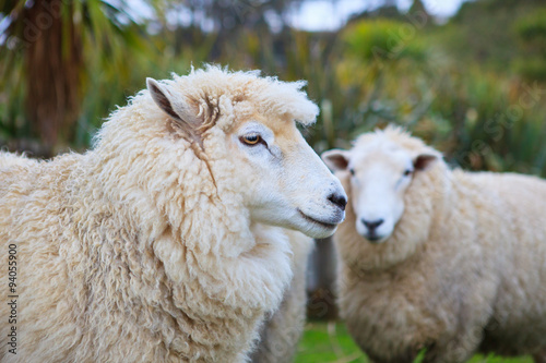 close up face of new zealand merino sheep in rural livestock far