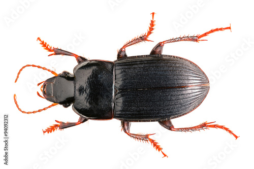 Harpalus Poster