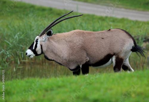 Poster Antelope Oryx
