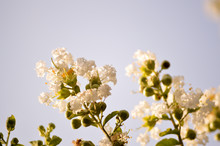 White Crepe Myrtle Bloom Closeup