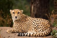 Cheeta Resting In A Shade