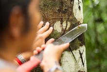 Croton Lechleri Amazon Medicine Rainforest Man Jungle People Naturalist Guide Explaining Sangre De Monster Extraction Stress On Timber Bark Croton Lechleri Amazon Medicine Rainforest Man Jungle Peopl