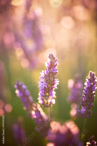 Fotobehang Lavendel fleurs de lavande, Provence, France