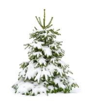 Verschneiter Tannenbaum Auf Reinweiß