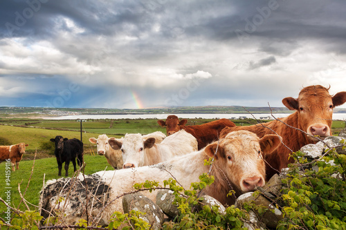 Aluminium Prints Dark grey Beautiful Irish landscape with cows in the meadow and a rainbow in the background