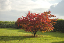 Acer Palmatum Or Japanese Maple In A Garden Losing The Red Leave