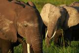 Fototapeta Sawanna - Two elephants eating the grass