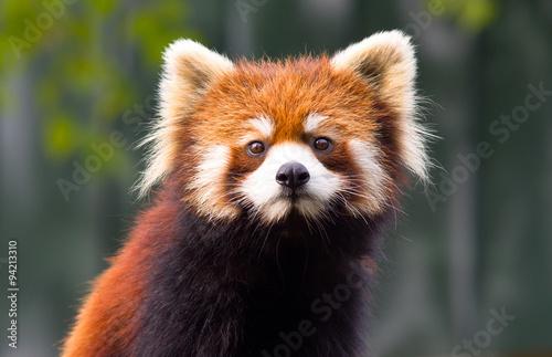 Fényképezés  Красная Панда