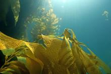 Underwater Seaweed Kelp Forest...