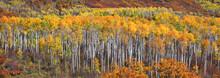 Row Of Aspen Trees In Autumn T...