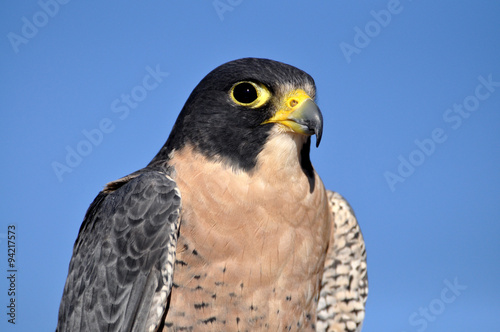 Closeup of peregrine falcon against blue sky Poster