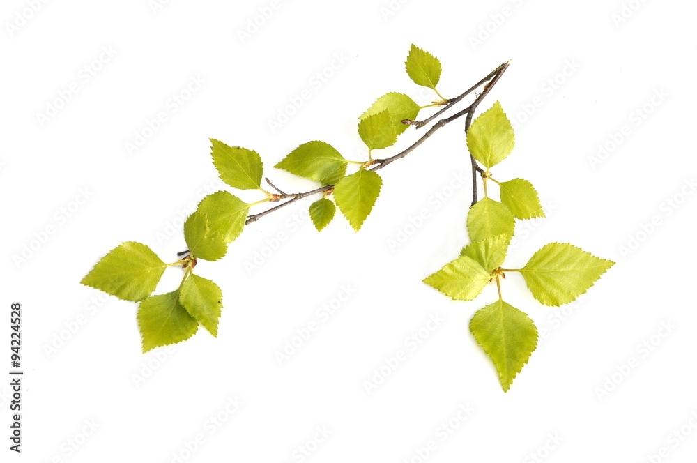 Fresh birch foliage on white background