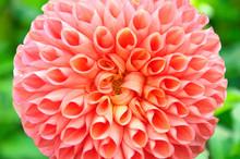 The Peach-colored Dahlia Flower Closeup