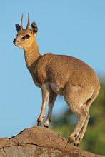 A Small Klipspringer Antelope ...