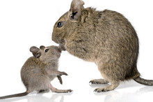 Cute Small Baby Rodent Degu Pe...