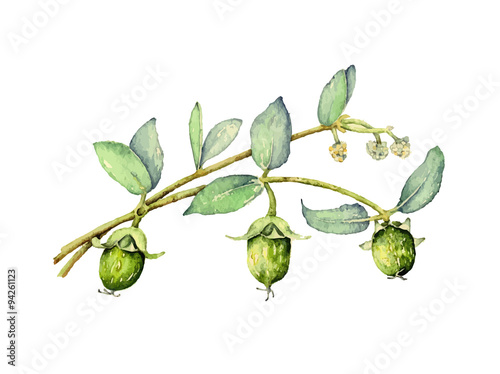 Valokuvatapetti Watercolor illustration of jojoba