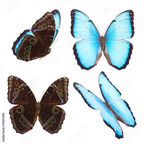 Fotografie, Obraz  Blue morpho butterfly