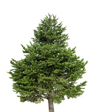 Isolated Pine Tree On A White ...